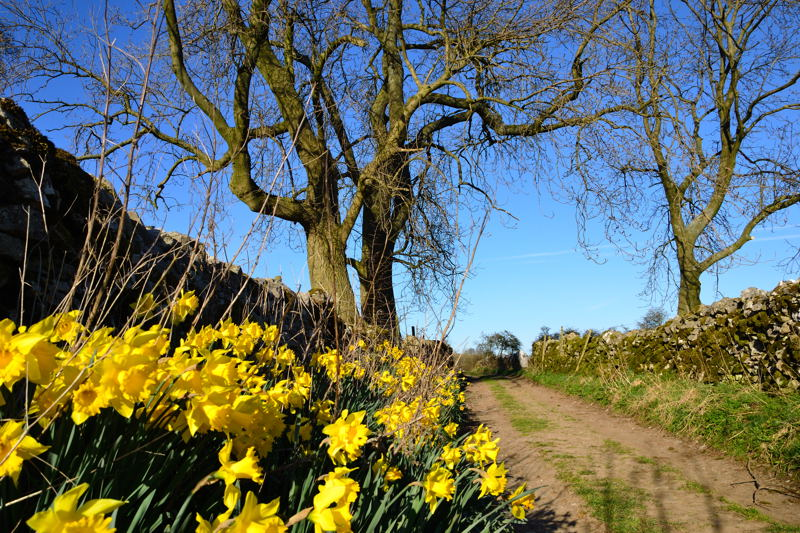 Daffodils alongside Gypsy Lane