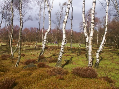 Silver Birch surrounding the Nine Ladies Stone Circle