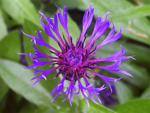 A Cornflower growing near the Old Rectory, Grindon
