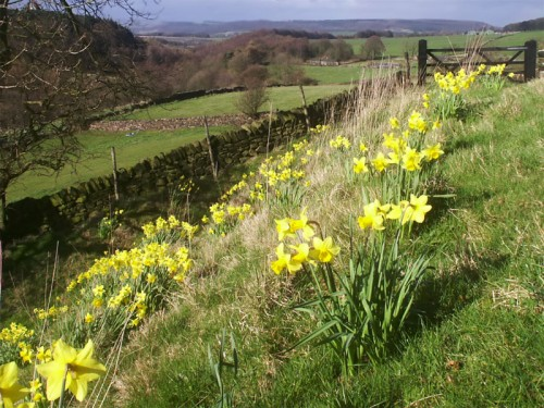 Daffodils alongside the footpath near Rocking Stone Farm