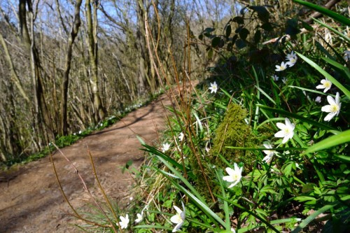 Snowdrops on the footpath below Thor's Cave
