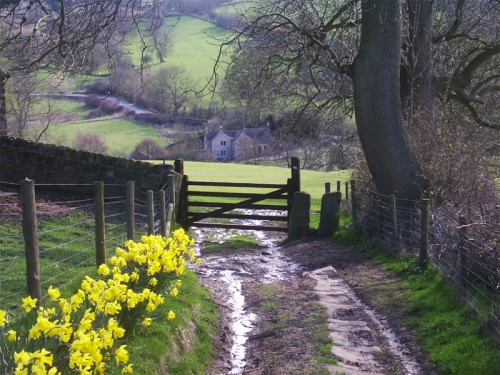 Daffodils line the track leading to Winster Road