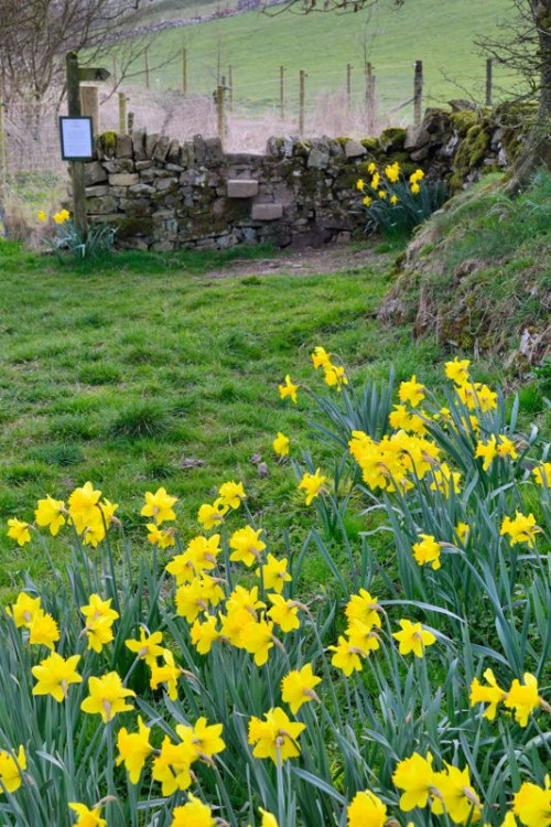Daffodils and Stone Stile below Summerhill Farm